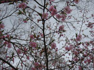 サクラサク!桜ウォーキング♪