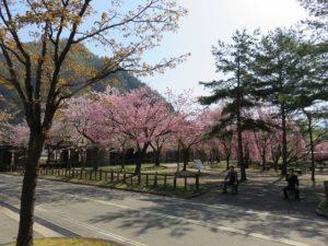 桜ウォーキング&サイクリング♪